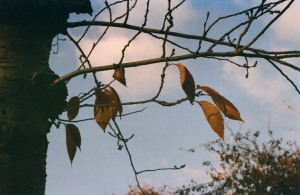 sparse leaves